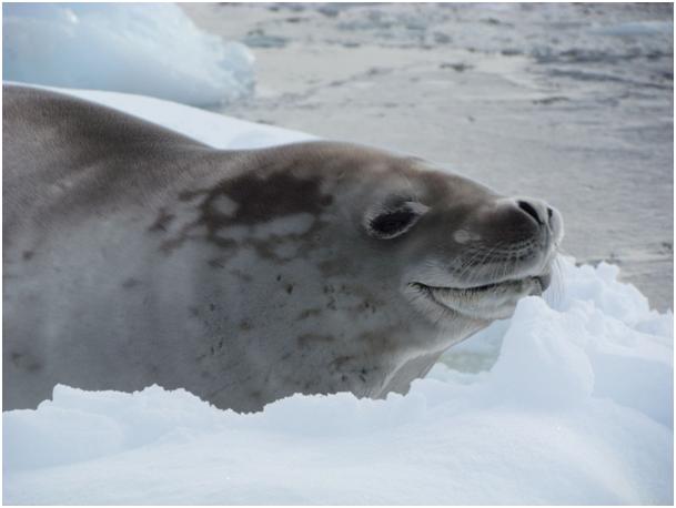 Antartika Buzulların Üzerinde Fok